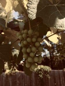 Niagra Grape Vine cuttings