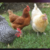 Profile picture of Three Chicken Farm
